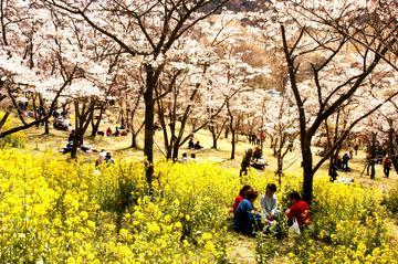 2015高森峠千本桜「桜まつり」