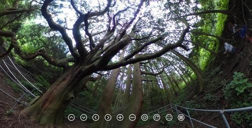 殿の杉.jpg