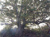 山鳥の御館女の森(タブの木)